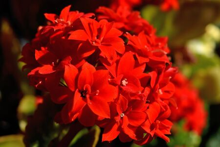 Closeup of the beautiful red flaming katy flowers Banco de Imagens - 142988051