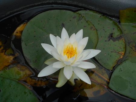 water lily Zdjęcie Seryjne