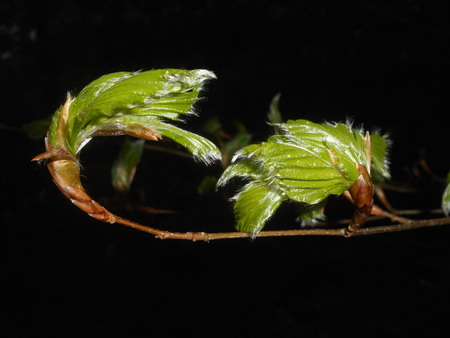 beech leaf green fresh in spring Imagens