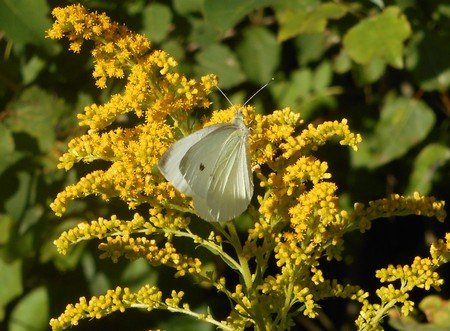 Butterly brimstone on a yellow blossom