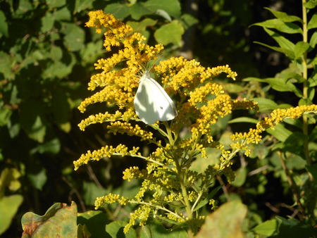 Brimstone butterfly on a yellow blossom