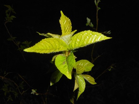 leaf of a beech in spring