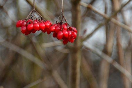 Rowan fruit autumn