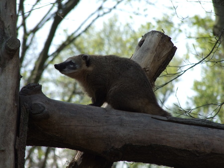 Coati in the zoo Stock Photo