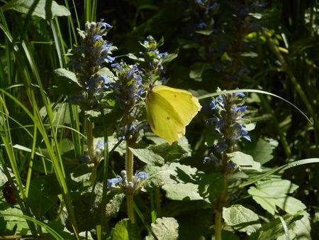 Brimstone butterfly on a flower Stock Photo