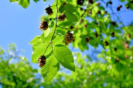 fruit of a beech tree
