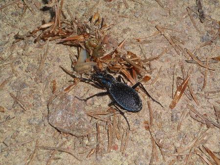 Beetle big black battles with a slug