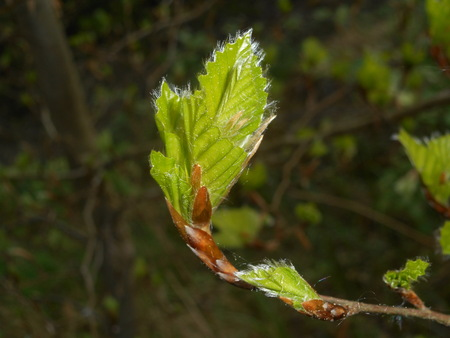 fresh leaf of a beech in spring Imagens