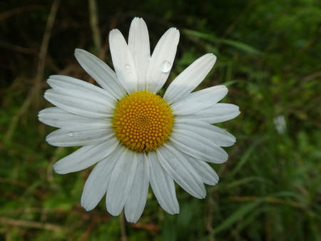 blossom of a marguerite