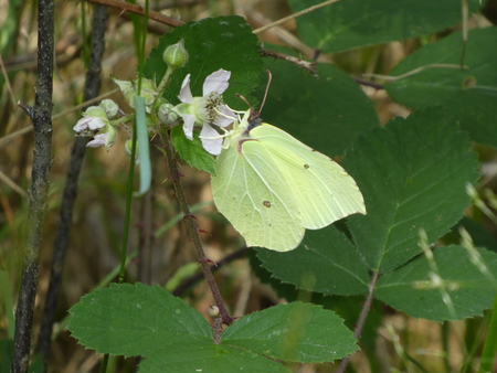 brimstone butterfly on a blossom