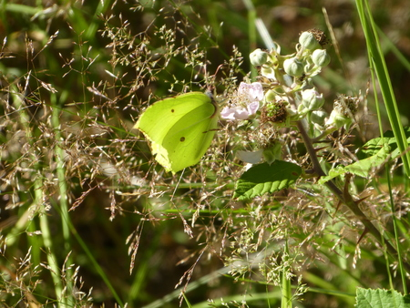 yellow brimstone butterfly on a blossom