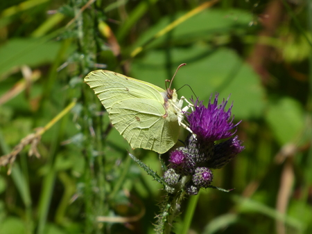 yellow brimstone butterfly on a purple blossom of a thistle