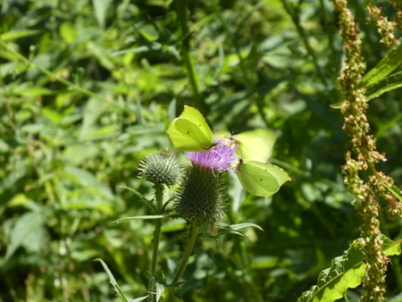 3 yellow brimstone butterfly on the blossom of a thistle Stockfoto