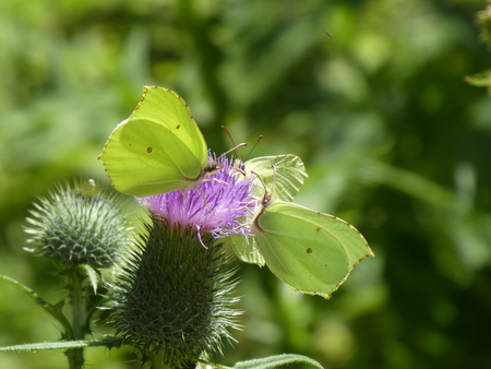 3 yellow brimstone butterfly on the blossom of a thistle Stock Photo
