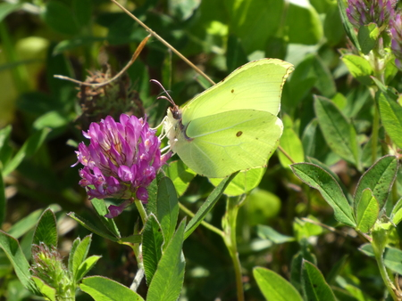 yellow brimstone butterfly on the blossom of a thistleyellow brimstone butterfly on the blossom of a clover Stock Photo