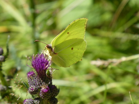 yellow brimstone butterfly on the blossom of a thistle