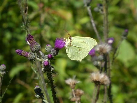 Yellow brimstone butterfly purple blossom