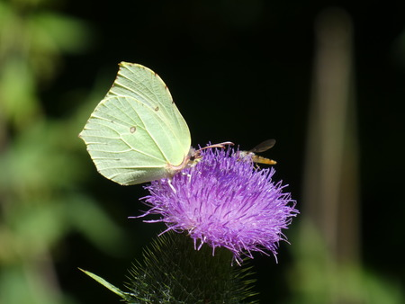 yellow butterfly brimstone purple blossom thistle