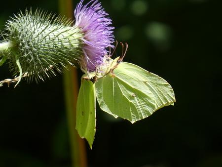 yellow brimstone butterfly purple blossom thistle
