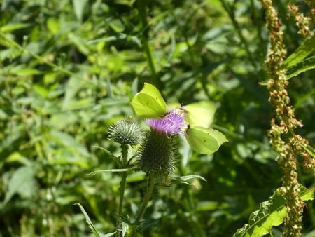 3 yellow brimstone butterfly purple blossom thistle Stock Photo