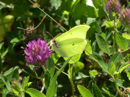 yellow brimstone butterfly clover blossom Stock Photo