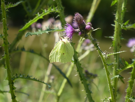 yellow brimstone butterfly blossom thistle Stock Photo