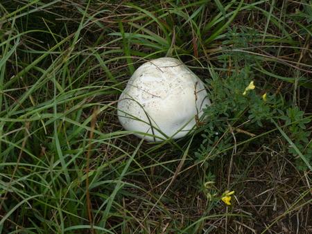 white mushroom champigon in a meadow