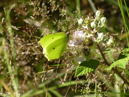yellow brimstone butterfly Stock Photo