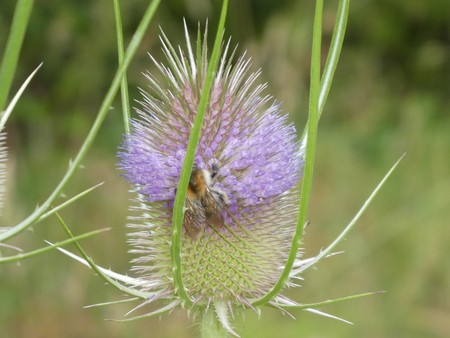 teasel in the forest bumblebee Stock Photo