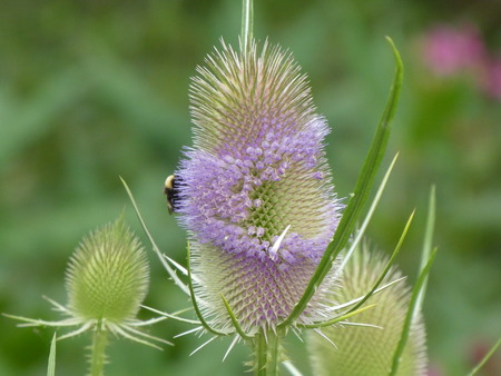 teasel in the forest