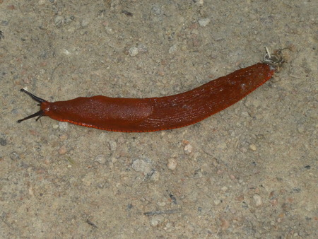 Brown slug in the forest
