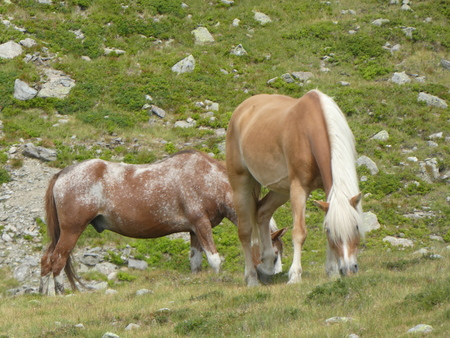horses grazing in the mountains of Italy