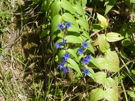 gentian with blue blossom in the mountains