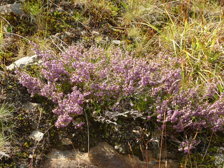 heather flower in the mountains Archivio Fotografico