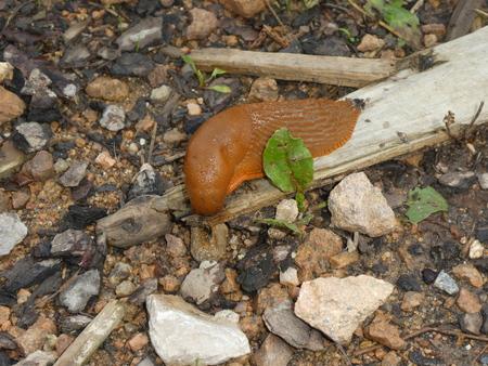big brown slug in the forest Reklamní fotografie