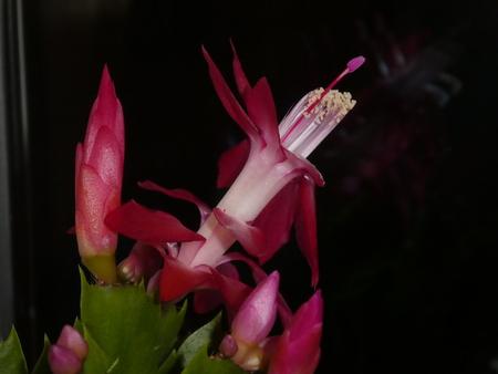 pink purple blossom of a christmas cactus