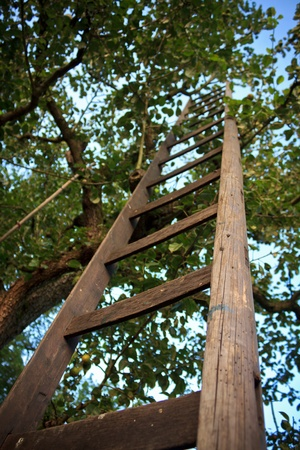 The Sky is the Limit.  An old wooden ladder reaches high into an apple tree below a blue sky