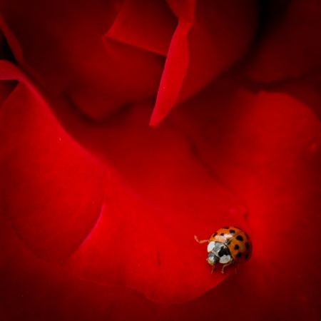 A tiny ladybird explores a deep red rose