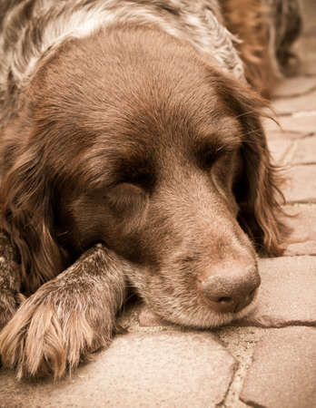 A brown floppy eared dog asleep Stock Photo