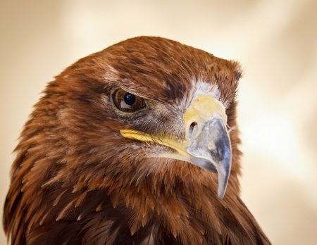 The killer look of a sharp-eyed harris hawk Stock Photo