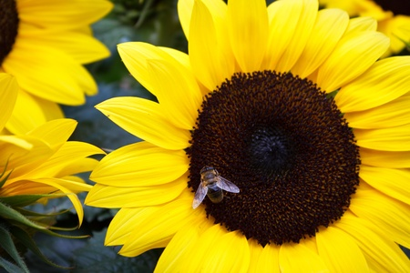 A honey bee collects pollen in a giant summer sunflower.