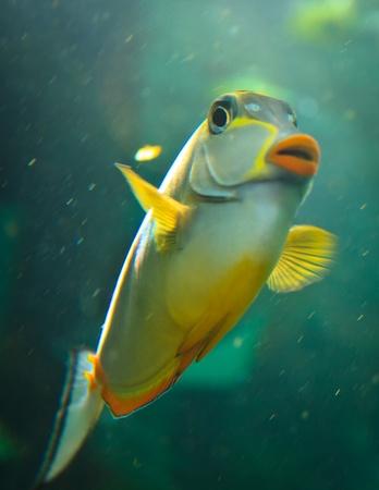 tang: Tropical Naso Tang fish