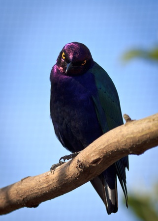 Glossy Purple Starling
