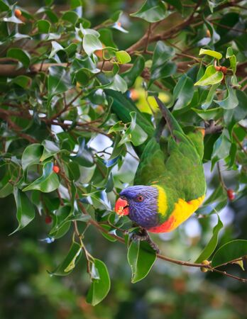 A brightly coloured wild lorikeet, with a beak full of seeds, swings out of a green leafy tree.