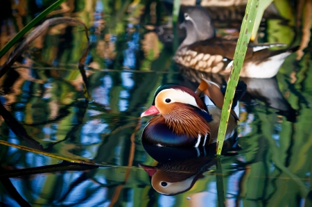 Mandarin Duck Stock Photo - 14992759