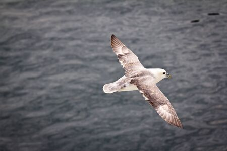 Seagull gliding over the cold seas near Iceland Stock Photo - 15025693