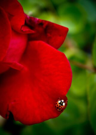 Tiny ladybird at home on a red rose petal