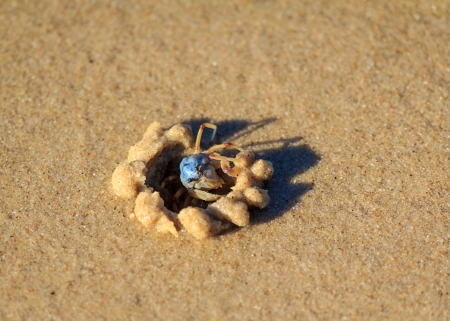 A tiny blue sandcrab watches carefully from its sand castle hole