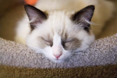 A tiny white ragdoll kitten asleep on a scratching post