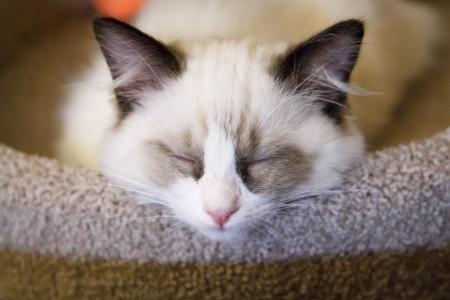 A tiny white ragdoll kitten asleep on a scratching post